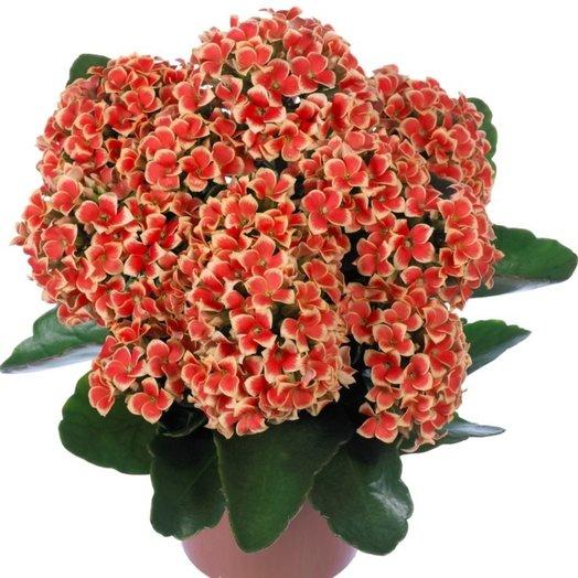 Каланхоэ Каландива: букеты цветов на заказ Flowwow