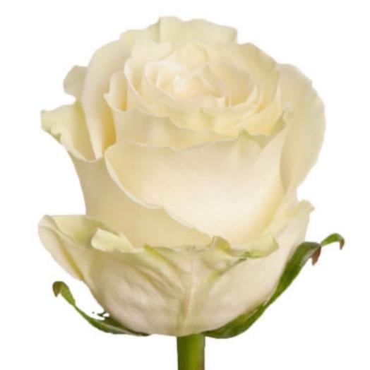 Роза белая Mondial