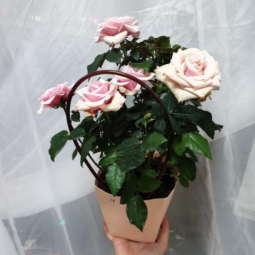 Цветущая роза в подарочном пакете
