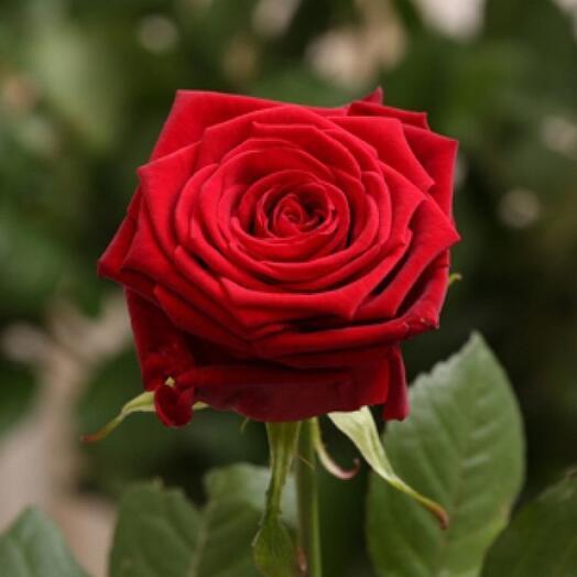 Красная роза Ред наоми 60см