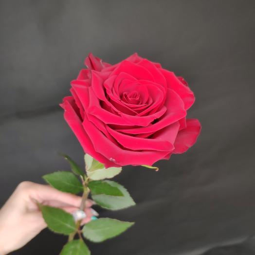 Роза Эксплорер 70 см