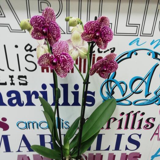 Комнатное растение орхидея Фаленопсис сортовая Дикий кот