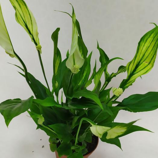 Комнатное растение ( Спатифиллум)