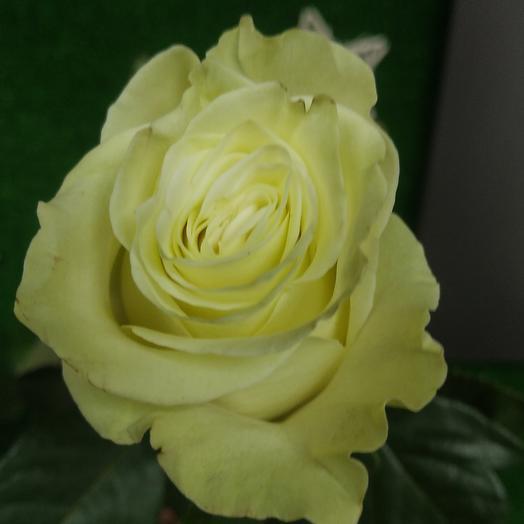 Роза мондиаль 70см
