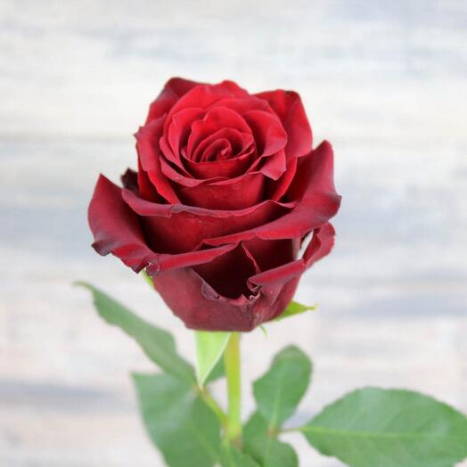 Роза Exsplorer
