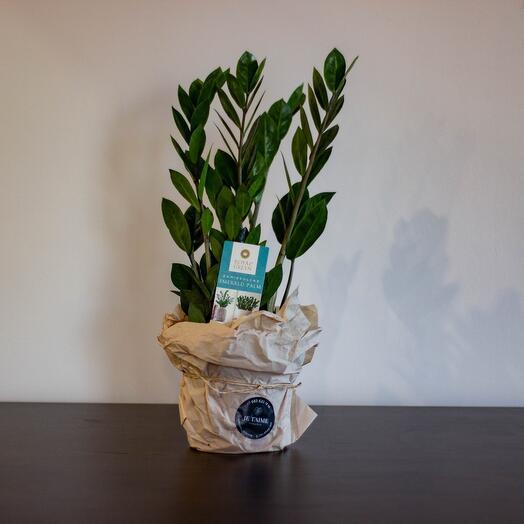 Комнатное растение Замиокулькас средний