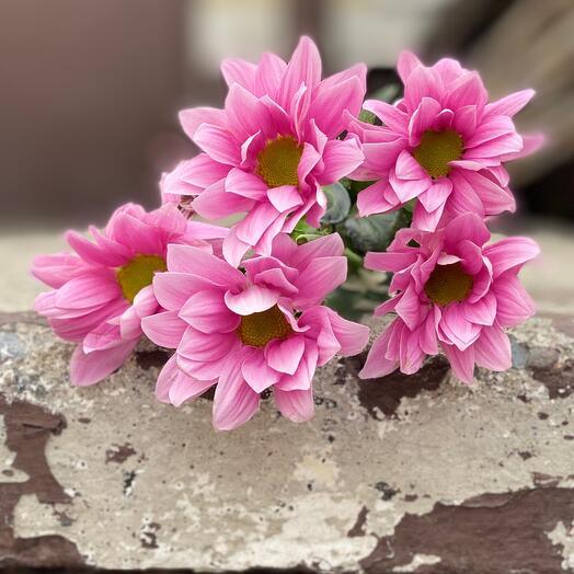 Кустовая хризантема ромашка розовая