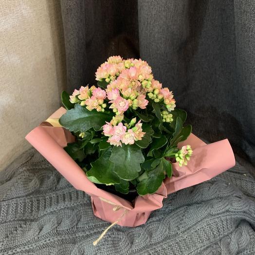Каланхоэ в горшке: букеты цветов на заказ Flowwow
