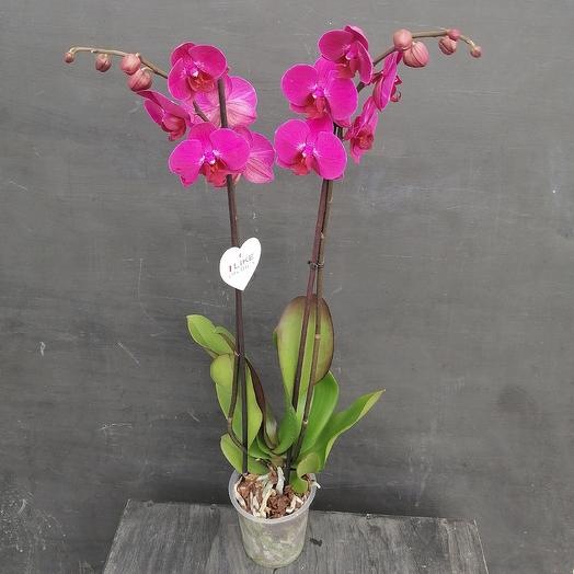 Фуксия: букеты цветов на заказ Flowwow