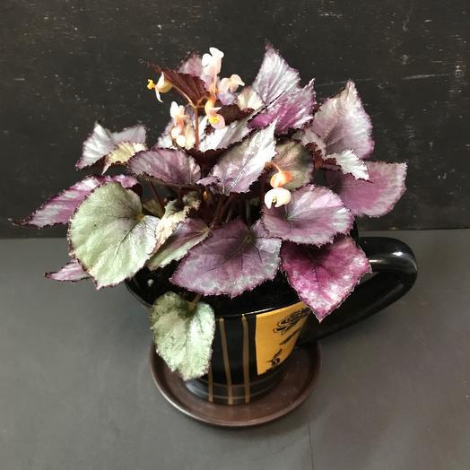 Комнатное растение «Бегония»