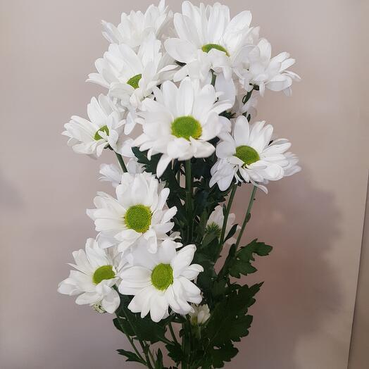 Кустовая хризантема Бакарди