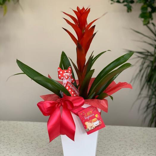 Комнатное растение гузмания «Оптимален»