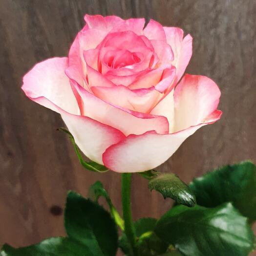 Роза Джумилия 60 см