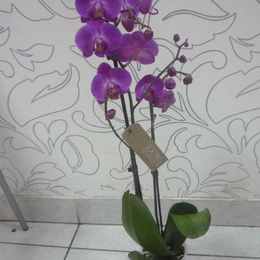 Орхидея Фаленопсис фуксия: букеты цветов на заказ Flowwow