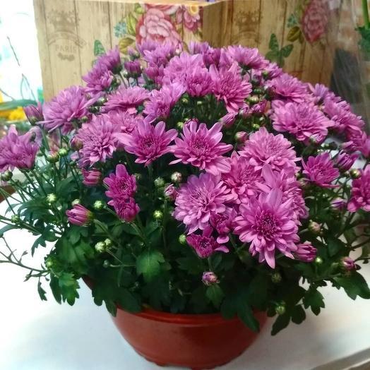 Хризантема кустовая в горшке: букеты цветов на заказ Flowwow