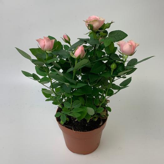 Роза Фаворите