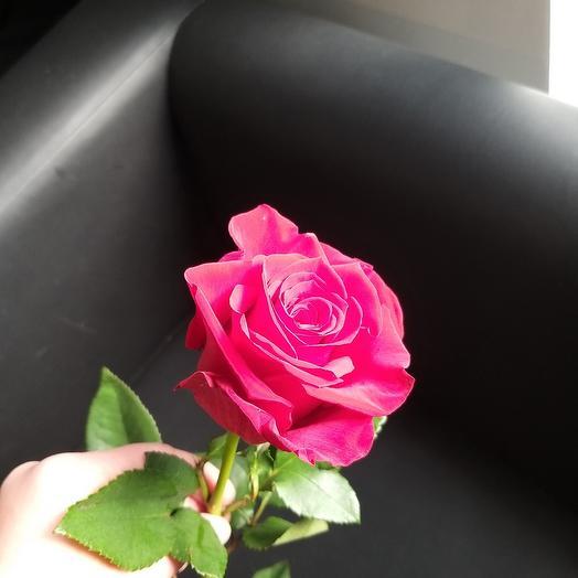 Роза Explorer
