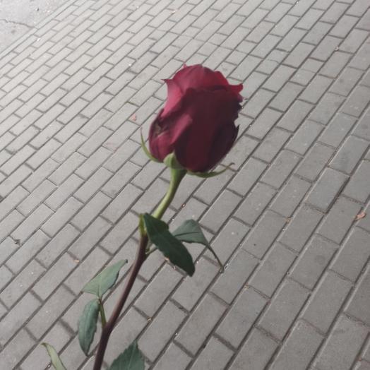 Роза Эксплорер 1м