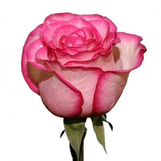 Роза Карусель 60 см