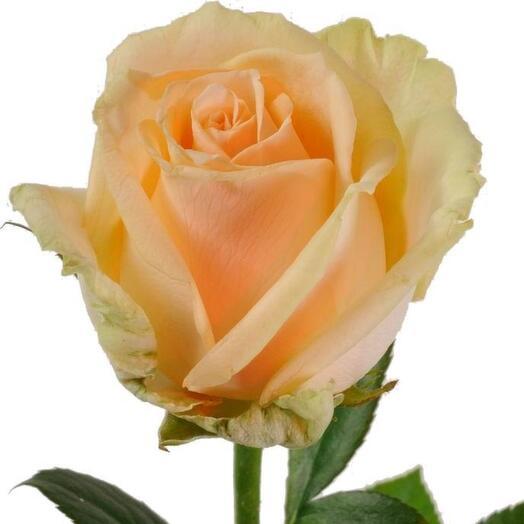 Роза Пич Аваланж (Peach Avalanche) 60см
