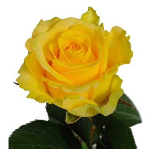 Роза Пенни Лейн (Penny Lane) 60 см