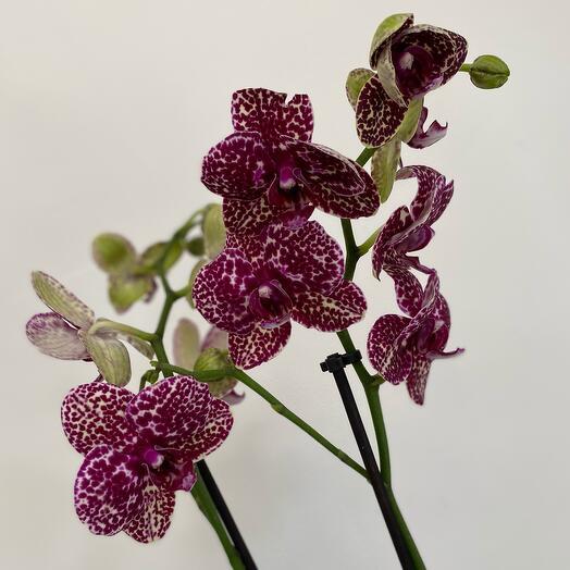 Сортовая орхидея «Дикий кот»