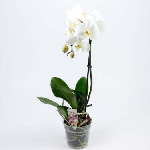 Фаленопсис 50 см: букеты цветов на заказ Flowwow
