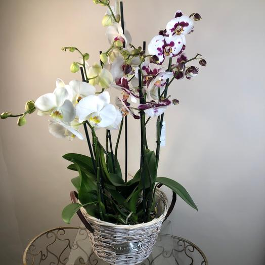 Комнатное растение орхидея