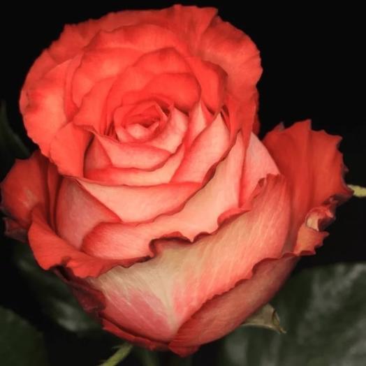 Роза Эквадор Игуана