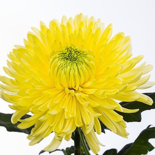 Хризантема Магнум желтый