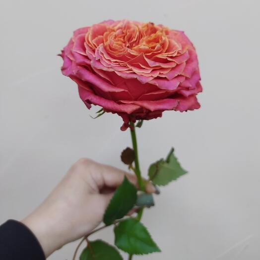 Роза «Кантри Гарден»