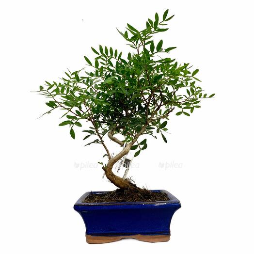 Бонсай Фисташковое Дерево