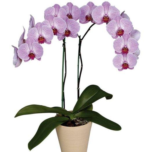 Сиреневая орхидея в горшке: букеты цветов на заказ Flowwow
