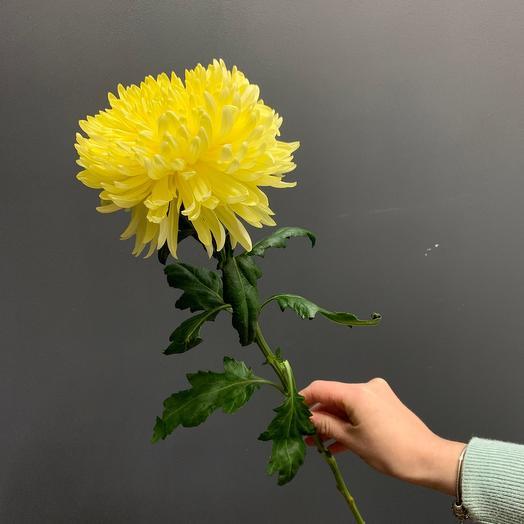 Хризантема сорт Магнум желтый