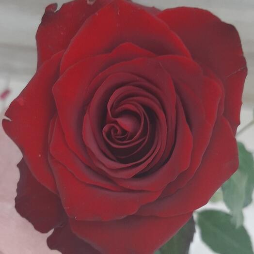 Роза Эксплорер 120см