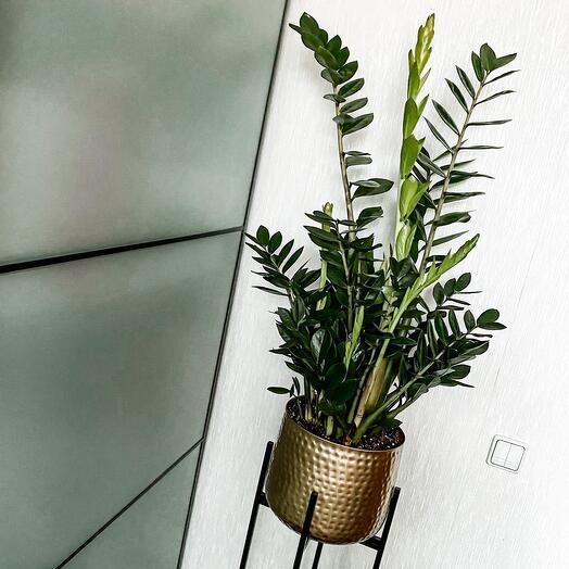 Комнатное растение Замиокулькас в кашпо Премиум