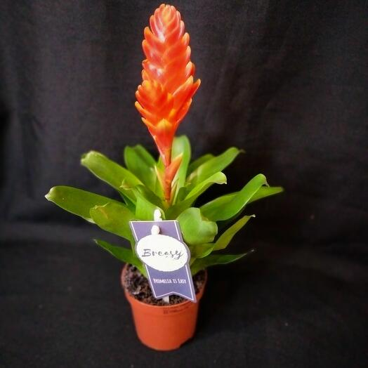Комнатное растение Врезия