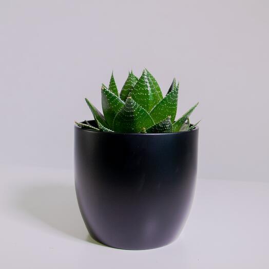 """Растение """"Алоэ Космо"""" пересаженное в Чёрный горшок"""