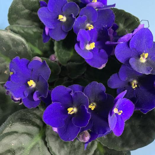Фиалка: букеты цветов на заказ Flowwow