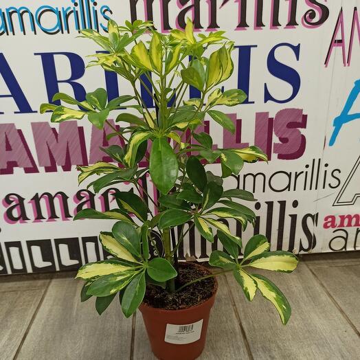 Комнатное растение шефлера