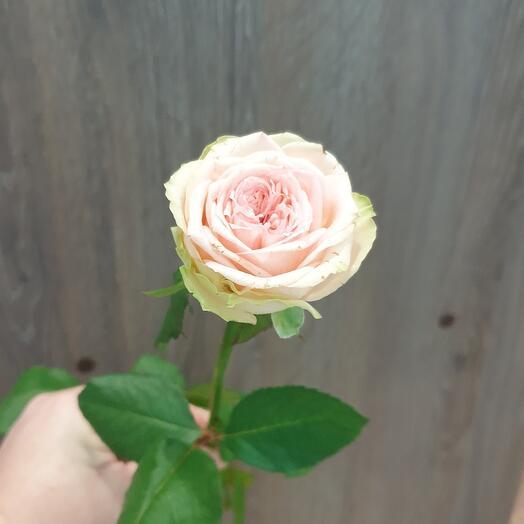 """Пионовидная роза """"Принц"""""""