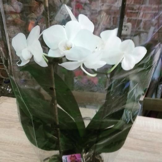 Фалеопсис: букеты цветов на заказ Flowwow