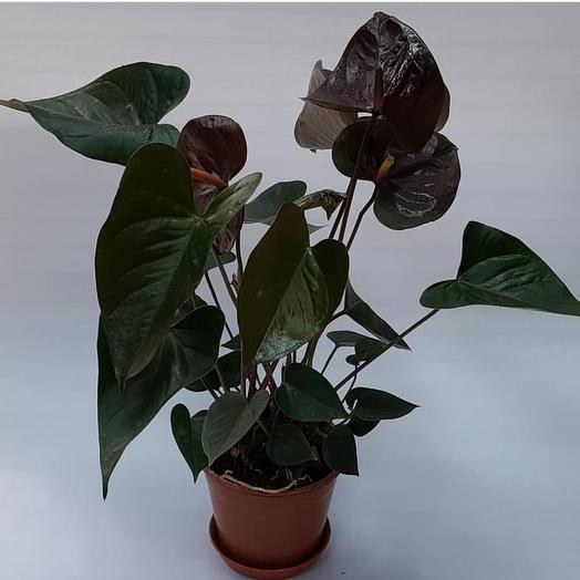 Шоколадный антуриум: букеты цветов на заказ Flowwow