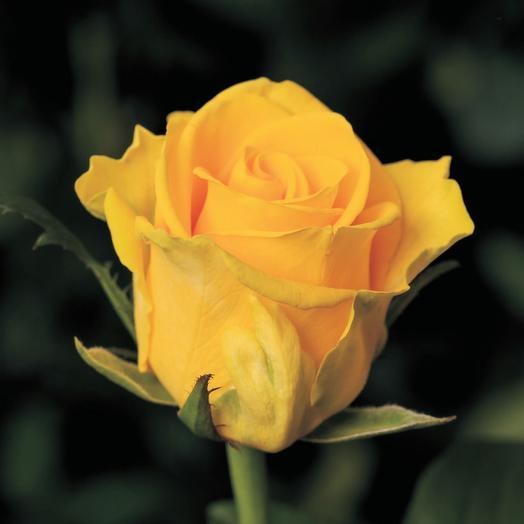 Роза Россия Пенни Лейн