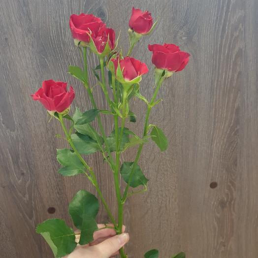 Роза кустовая 70 см