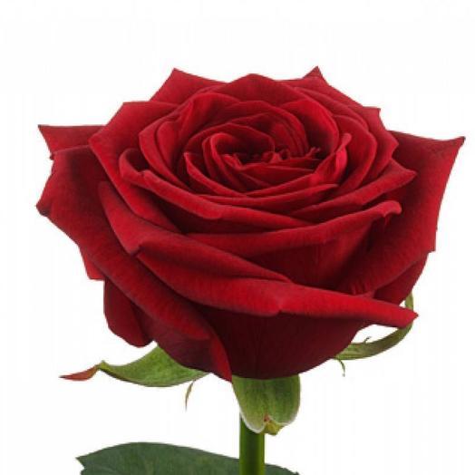 Роза Россия 50см