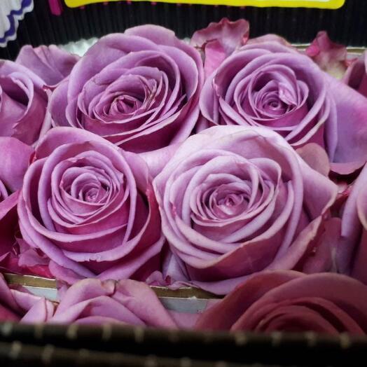 Сиреневая Роза Эквадор