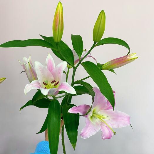 Ароматная розовая Лилия 80см