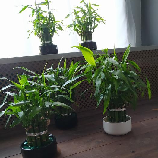 Бамбук в фарфоре