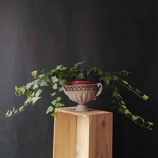 """Живое растение """"Хедэра"""""""